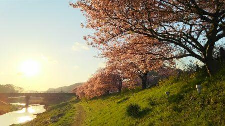 サクラが咲きました♪ そして、第二の人生がスタート!